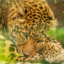 Adopteer een Luipaard