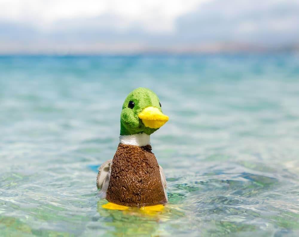 Duck plushie Gustav von Schnabel takes a dive