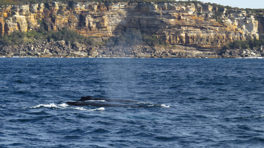 Humpback whales swimming past the coast near Sydney