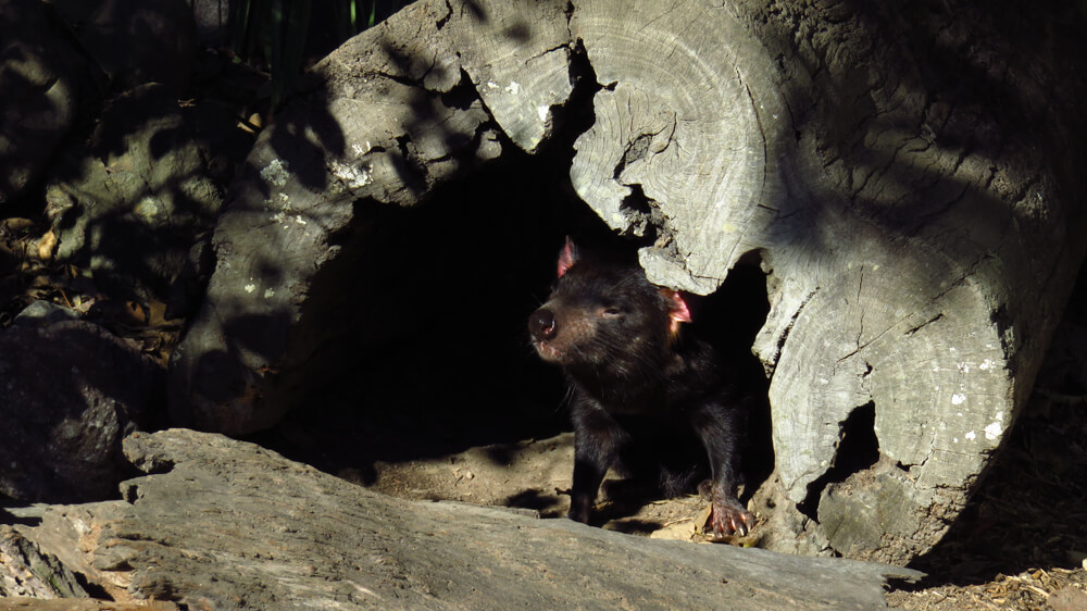 The Tasmanian devil, the iconic symbol of Tasmania