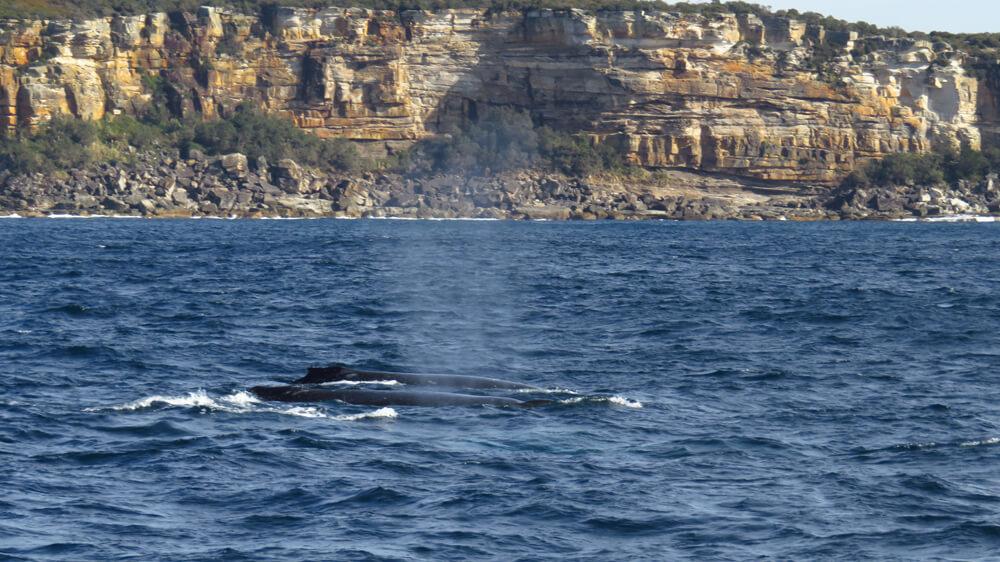 Bultruggen zwemmen langs de kust bij Sydney