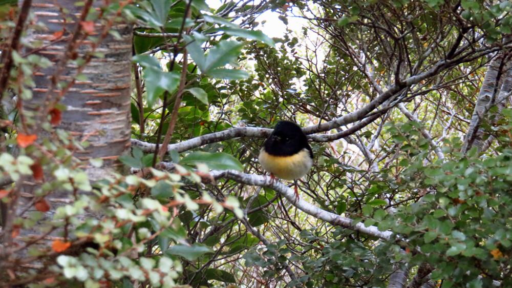 Een Maorivliegenvanger op Routeburn Track
