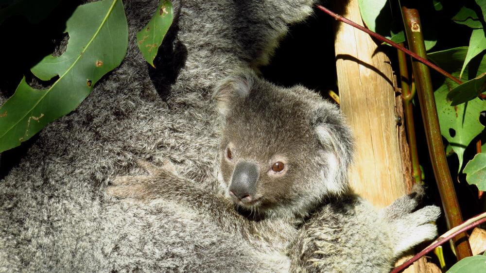 Een jonge koala en zijn moeder genieten van de bladeren van een eucalyptusboom
