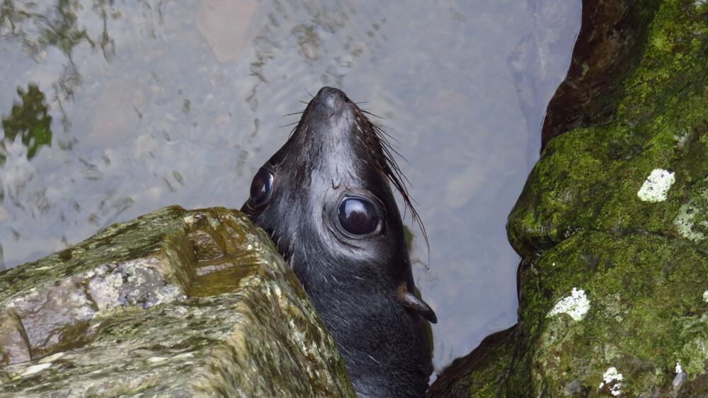 Een speelse Nieuw-Zeelandse pelsrobben verstopt zich onder een rots