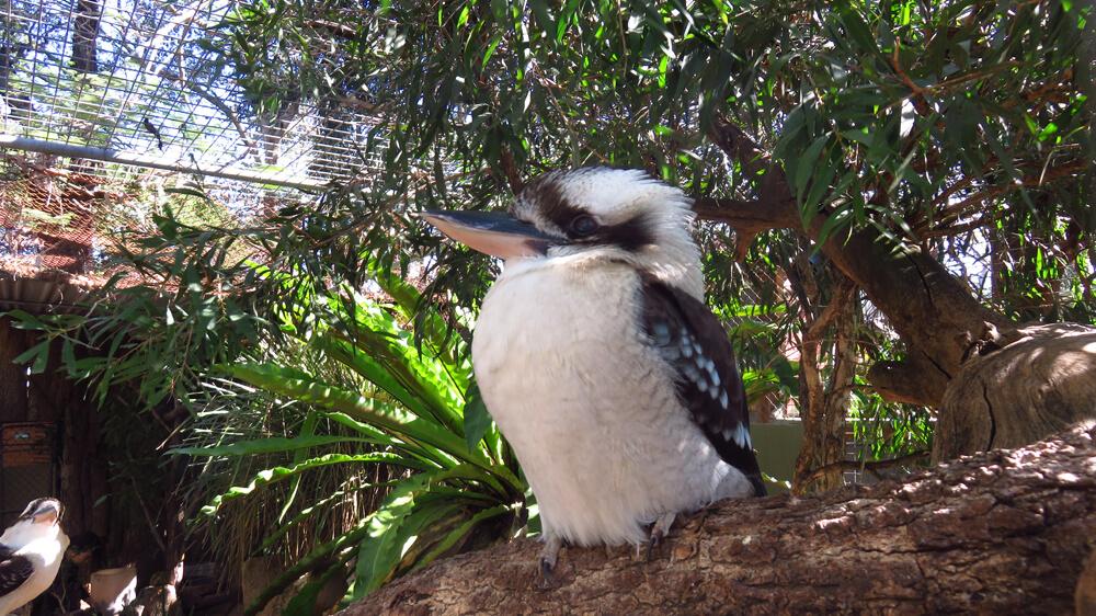 Kookaburra in het Lone Pine Koala Sanctuary