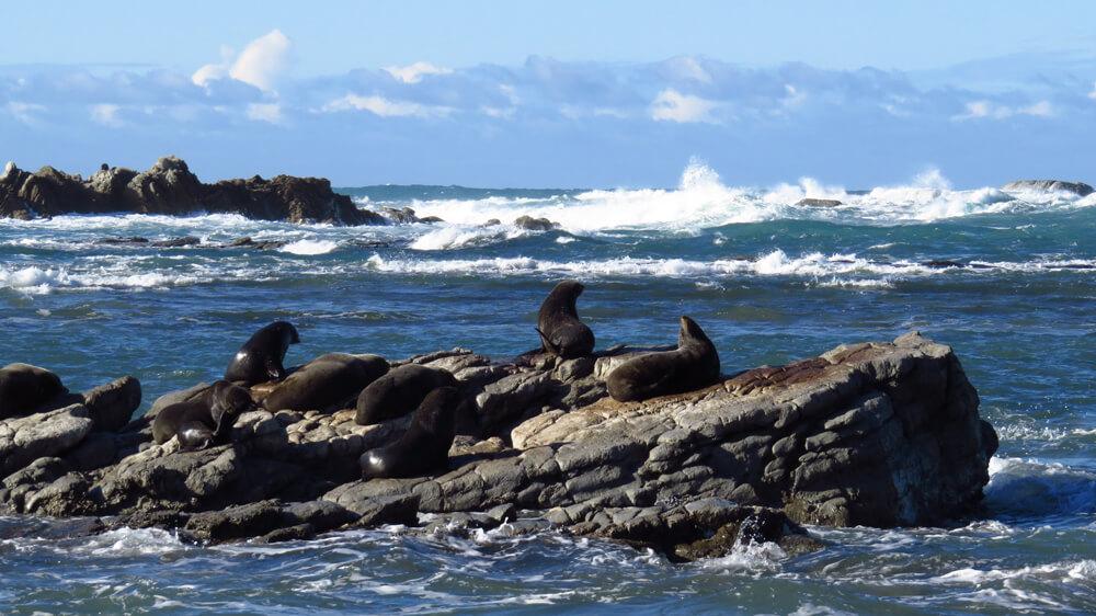 Nieuw-Zeelandse pelsrobben die op een rots rusten