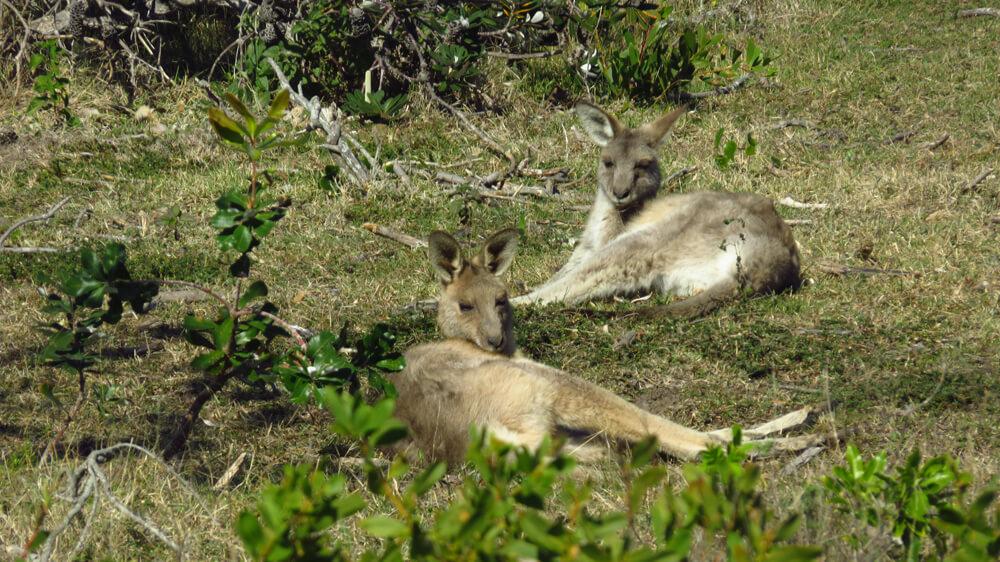 Oostelijke grijze kangoeroes op het Look At Me Now Headland