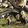 Twee wallaby's bezoeken de kangoeroes