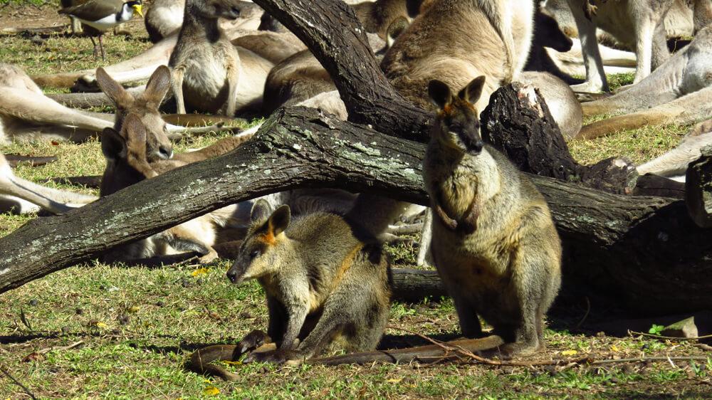 Twee wallaby's met kangoeroes