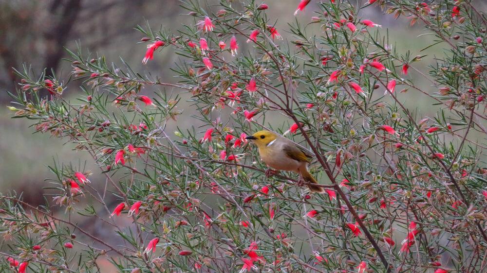 Vogel in een National Park in West-Australië