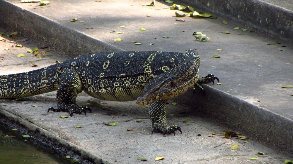 De Monitor Lizard, een reuzenvaraan