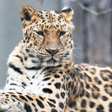 Adopt a Amur Leopard